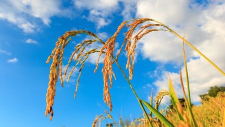 Italian-Grown Rice Is High-Quality and Readily Available