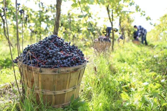 Opt for an Organic Wine for a Conscious Drop